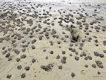 Sand Bubbler Crab Pellets, Sydney  [2014]