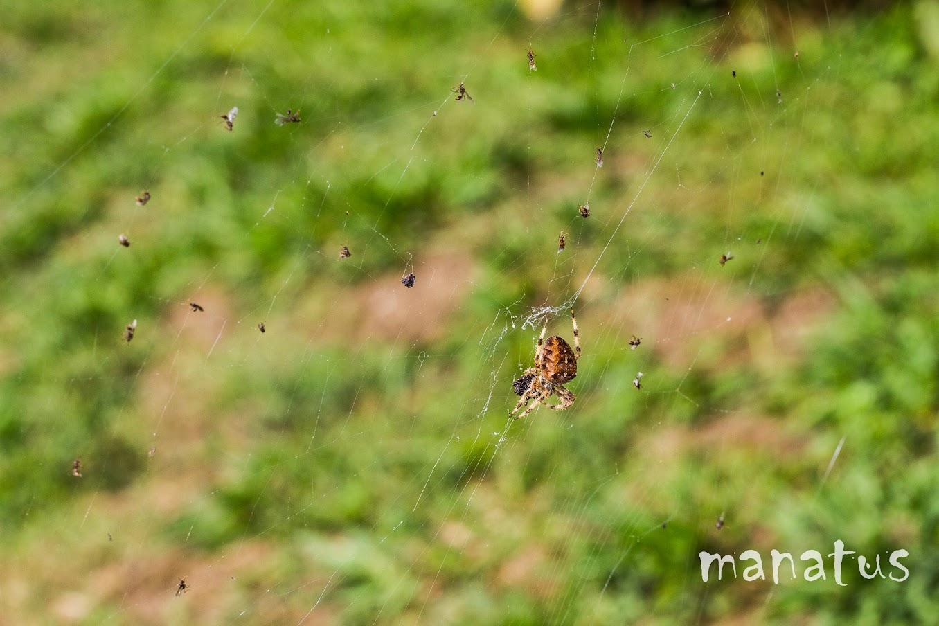 manatus foto blog tela de araña