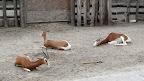 I dugonoge koze, antilopastih korijena
