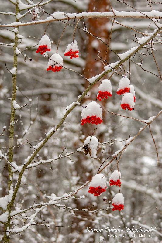 Калина под снегом