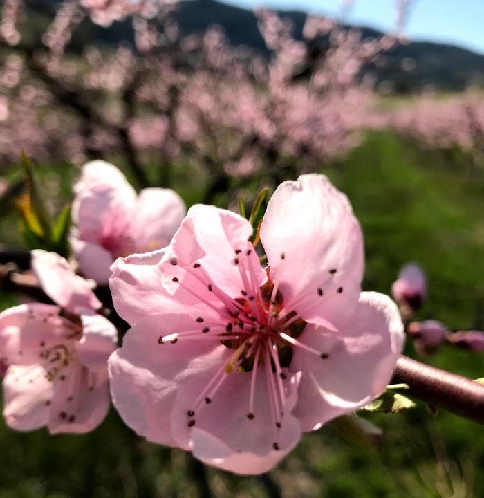 [pink+blossoms+April%5B7%5D]