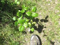 Luxuriant poison oak. ©http://backpackthesierra.com