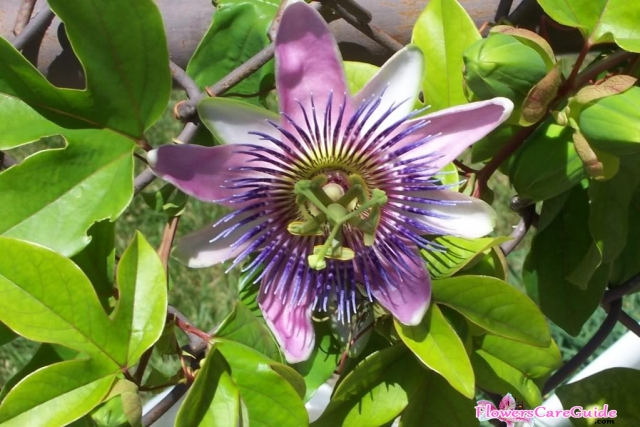 How To Root Passion Vine Cuttings And Grow Passion Flower Seeds