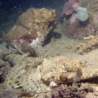 Crocodilefish (Paradise Jetty, Manado)