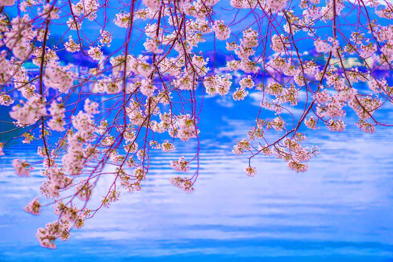 河口湖 桜 写真5