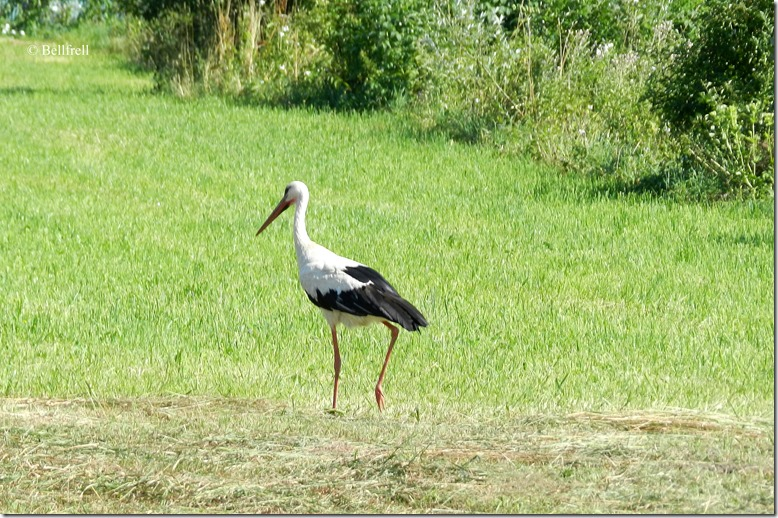 Storch in Anif