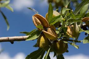 """Almonds of Gilgit-Baltistan"""