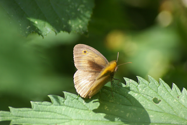 Maniola jurtina LINNAEUS, 1758, mâle. Les Hautes-Lisières, 6 juillet 2010. Photo : J.-M. Gayman