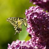 Papilio machaon LINNAEUS, 1758. Les Hautes-Lisières (Rouvres, 28), 23 mai 2010. Photo : J.-M. Gayman