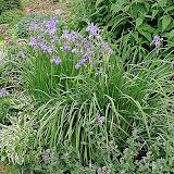 Iris Sibirica «Perry's Blue» 50см