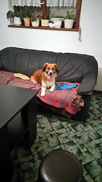 Medo je bio jedan od rijetkih pasa s kojim smo jedva izlazili na kraj. Prvo nas je skoro 3 tjedna htio pojesti u boksu karantene. Onda smo ga nekako izvukli van gdje je bilo nešto bolje ali i dalje je režao, pokazivao zube i napao bi ako bismo prešli njegovu granicu. Tada smo počeli s njim raditi, a kad mu je došla njegova Brigita, bila je to ljubav na prvi pogled i nakon mjesec i više dana što je dolazila svaki dan i jednostavno sjedila pored njega i nakon što smo bi obavili cijepljenje, čipiranje i kastraciju, Medo je otišao u svoj i Brigitin dom. I dalje u njoj vidi Boga, a ona ga voli svim srcem. Sretni smo zbog njega...