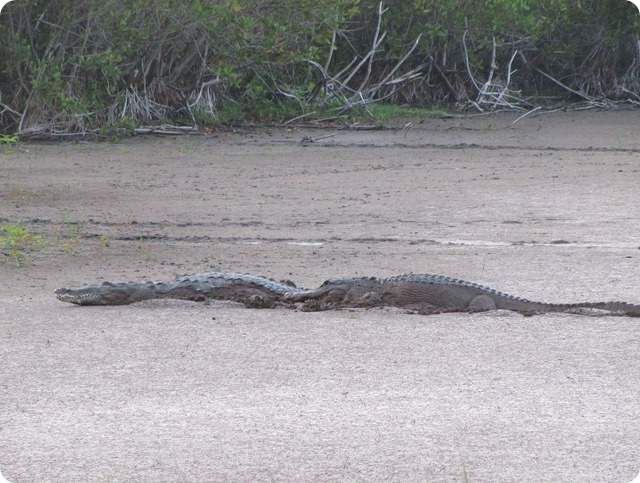 Crocodile_and_Gator_at_Mrazek_Pon