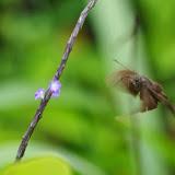 Hesperiidae. Vallėe du Rio Guallupe, 1400 m (El Limonal, Imbabura), 5 décembre 2013. Photo : J.-M. Gayman