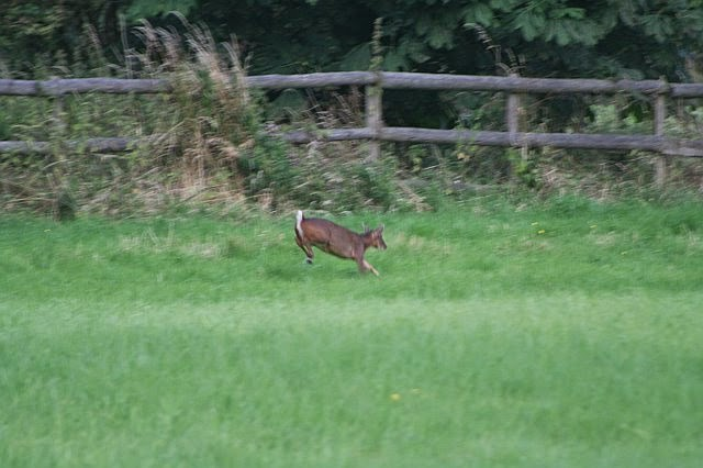 Woodhurst Wildlife Muntjac In The Grassfield - muntjac08.jpg