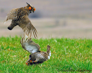 Two prairie chickens tussle in a territorial display.