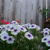 Gardening 2011 - 100_8177.JPG