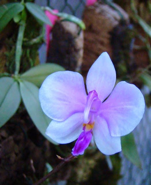 Phalaenopsis lowii DSC02959