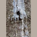 Pine-tree-sap_MG_2735-copy.jpg