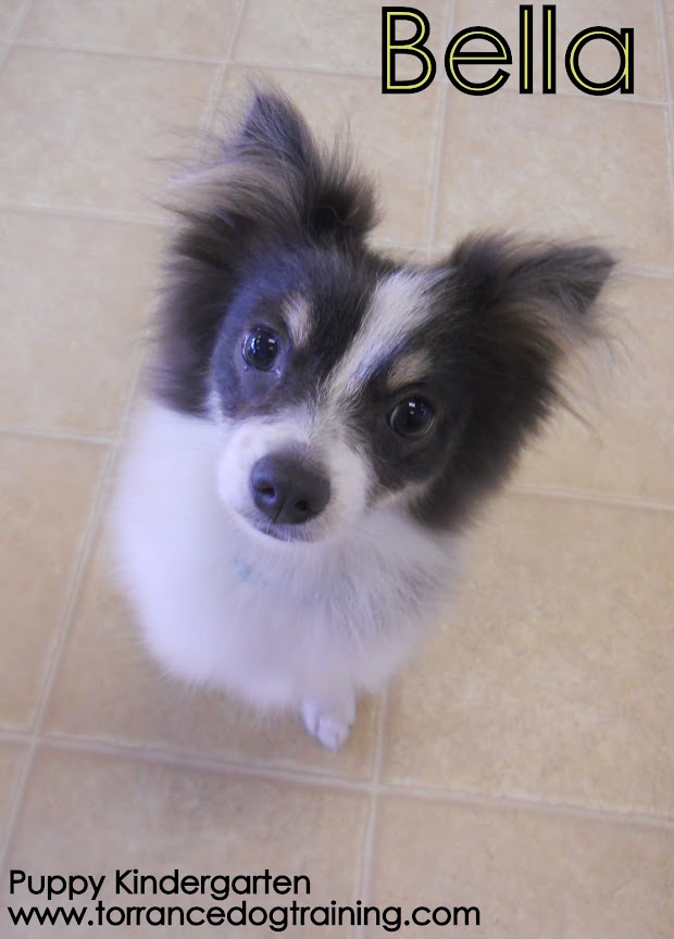Bella the 5 month old Pomeranian/Papillon mix!