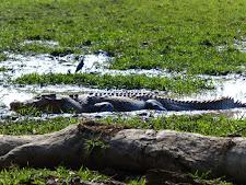 14 foot croc on the floodplains.