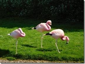 15 andean flamingos