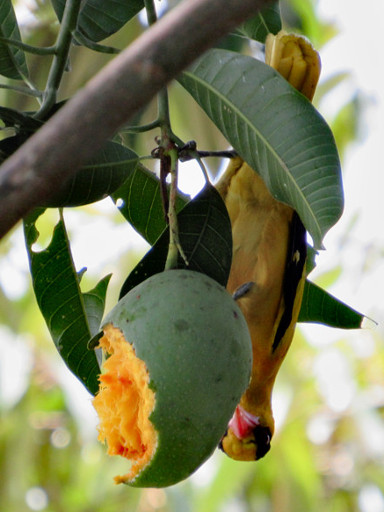 Upside-down Black-naped Oriole Feeding On Mango