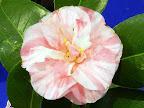 白〜淡桃色地 淡紅色縦絞り 八重咲き