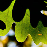 White-oak-leaves_MG_8434-copy.jpg