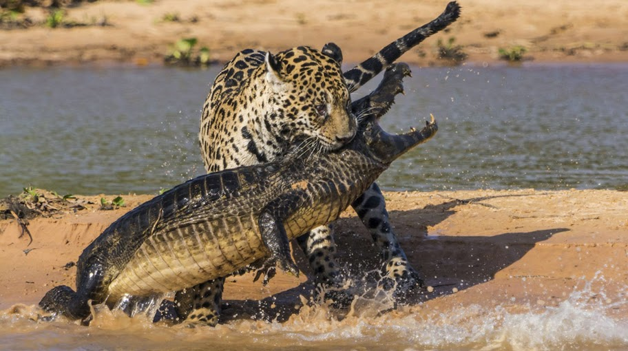 Jaguar kills Caiman Crocodile national geographic Video