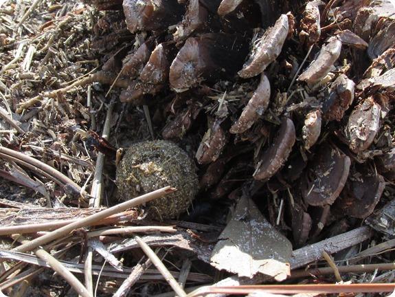 6 Dung Beetle (5)