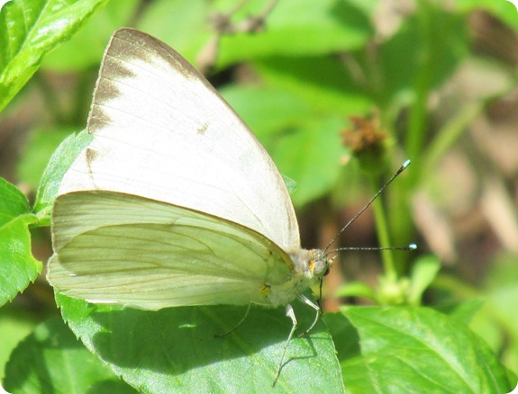 22 Van Fleet - Great Southern White Ascia monuste Butterfly