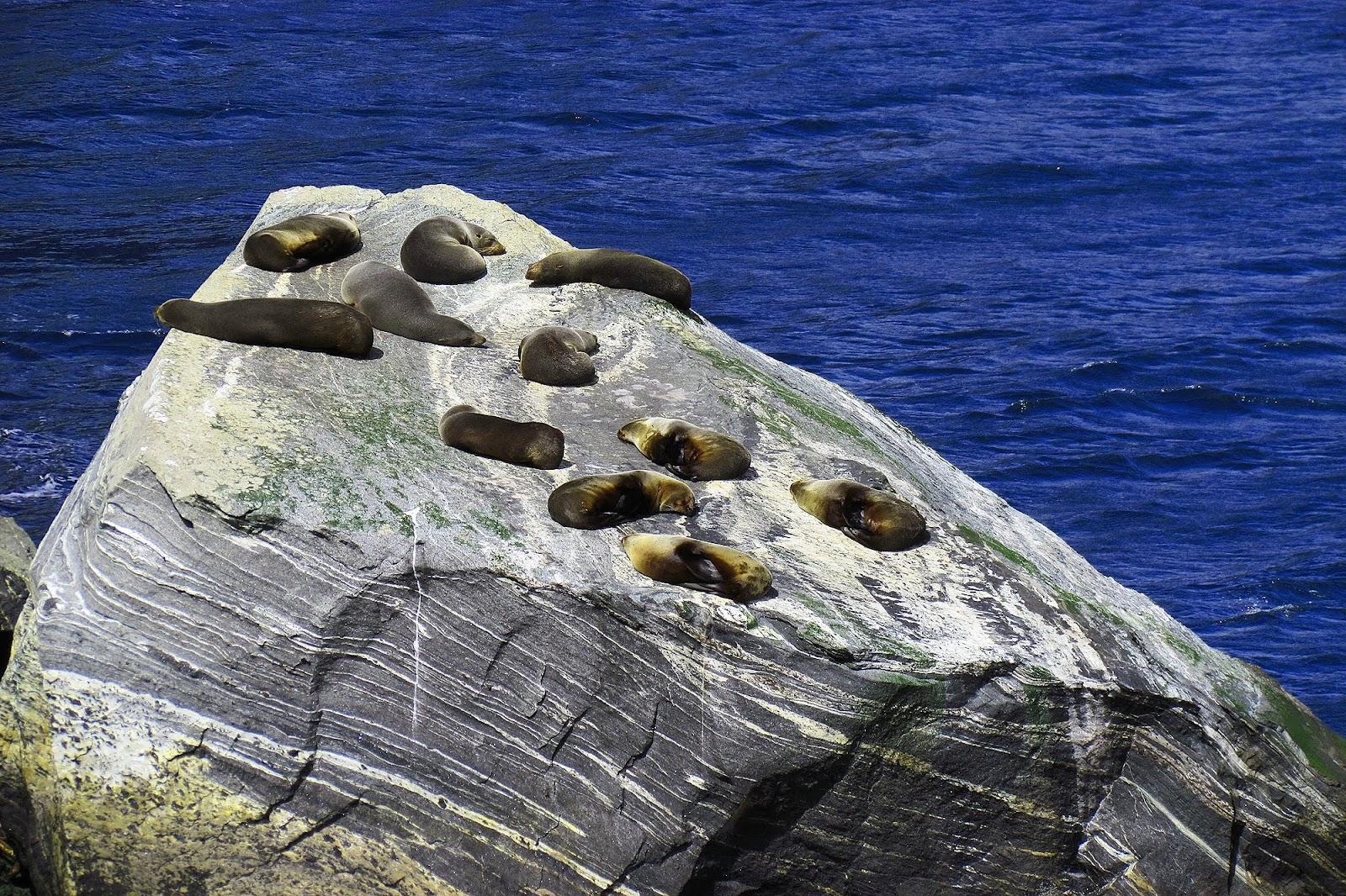 Milford Sound Seals on Rock.jpg