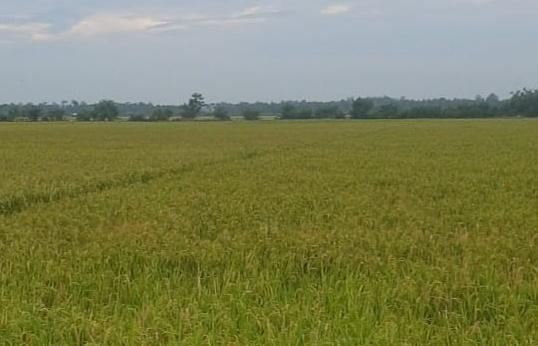 Akibat Pintu Air Rusak, 15 Hektar Tanaman Padi di Jambo Aye Hangus Tergenang  Air Asin