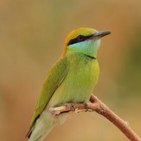 blue eater by Dr. Mahendra singh Rathore - Animals Birds