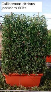 callistemon citrinus jardinera