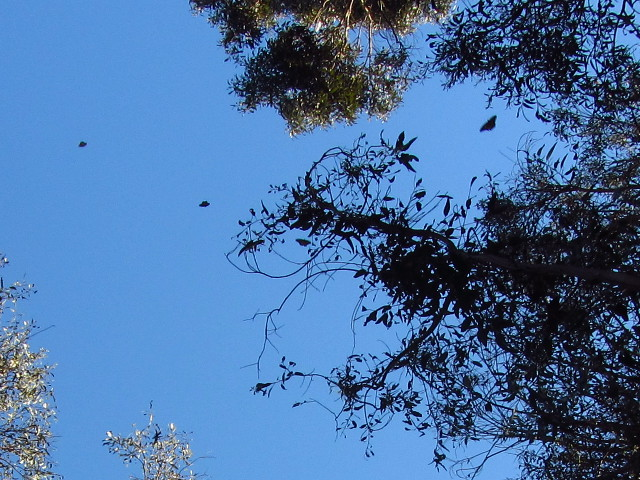 buterflies in flight