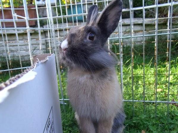 [adoptée]-Nala, lapine noire et marron, avec le bout du nez blanc Nala5-ff44a