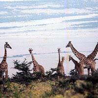 69 giraffs.jpg