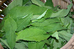 Comfrey leaves.