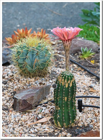 160519_Echinopsis_in_front_yard_001