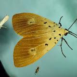 Erebidae : Aganainae : Asota iodamia HERRICH-SCHAFFER, [1854]. Umina Beach (N. S. W.), 23 novembre 2011. Photo : Barbara Kedzierski