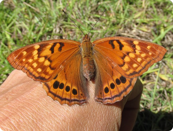 3 Tawny Emperor Butterfly (5)