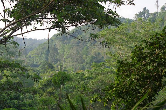 La Forêt autour de Tunda Loma Lodge, 100 m (Calderon, Esmeraldas, Équateur), 26 novembre 2013. Photo : J.-M. Gayman