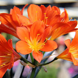 Belgian Hybrid Orange Blush Lily.jpg