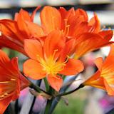 Belgian Hybrid Orange Blush Lily.jpg