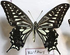PAPILIO XUTHUS.JPG