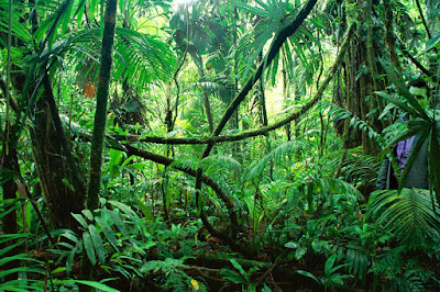 LIANAS IN INTERIOR OF LOWLAND RAINFOREST, LA SELVA BIOLOGICAL STATION, COSTA RICA