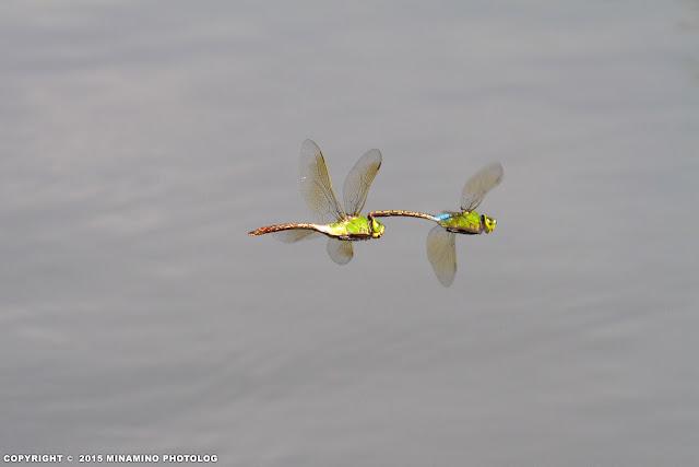 ギンヤンマ 連結飛翔