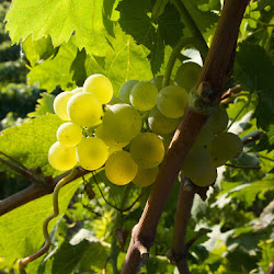 Italy: Villa Viani Grape Harvest