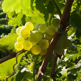 Italy: Villa Viani Grape Harvest